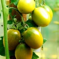 Oliventraube grün-gelb