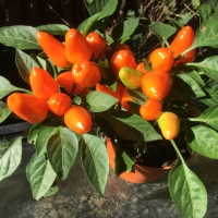 Zierpaprika orange
