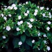 Japanische Wunderblume weiß