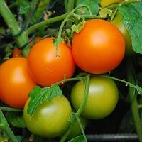 Romei's Schöne Runde orange