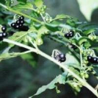 Wonderberry