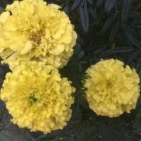 Tagetes gefüllt - gelb